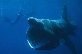 Basking sharks will have its own Marine Protected Area in the Sea of the Hebrides that will serve as its feeding and breeding ground.
