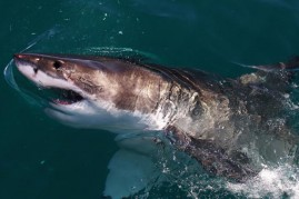 A Great White Shark swims in Shark Alley near Dyer Island on July 8, 2010 in Gansbaai, South Africa.