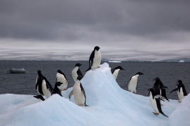 Adelie Penguins (Pygoscelis adeliae) on iceberg.