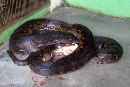 A large Python reticulatus feeding on 5 chickens in Taman Mini Indonesia Indah Reptile Park, Jakarta, Indonesia.