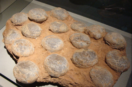 A nest of eggs of the dinosaur Faveoloolithus ningxiaensis found in Nei Mongol, China. This fossil is ages 100-65 million years old (Cretaceous period).